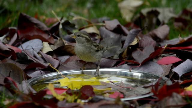 vídeos y material grabado en eventos de stock de sparrow on autumn birdbath - baño para pájaros