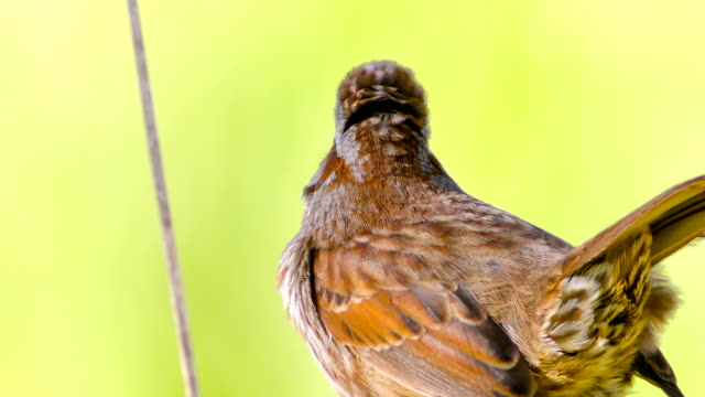 sparrow. originally shot in 4k with blackmagic production 4k - telephoto lens stock videos and b-roll footage