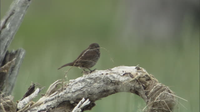 a sparrow perches on a dead branch. - sparrow stock videos & royalty-free footage