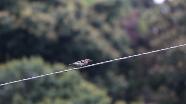 sparrow perching on wire - perching stock videos & royalty-free footage