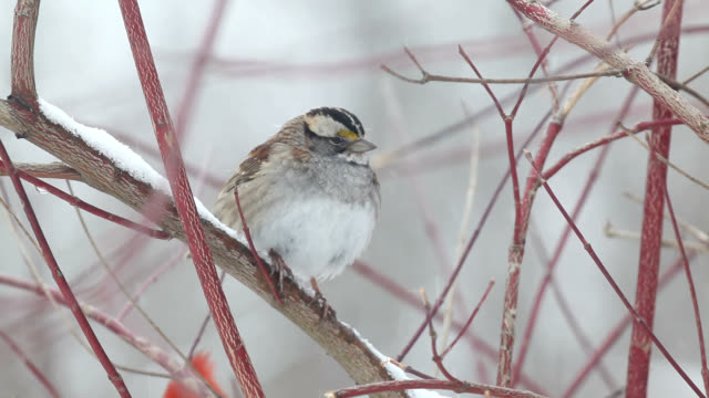 sparrow puffing its feathers - sparrow stock videos & royalty-free footage