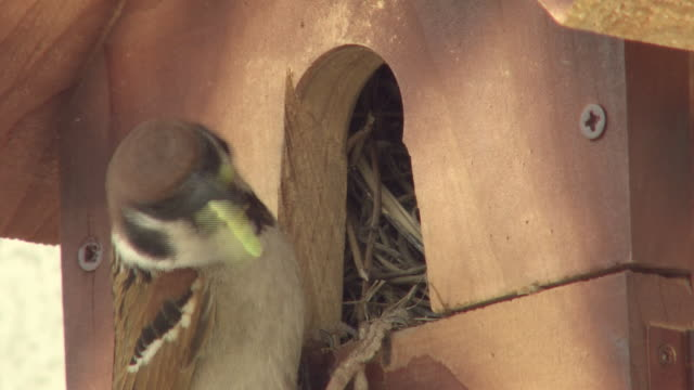 Sparrow Raising Chicks
