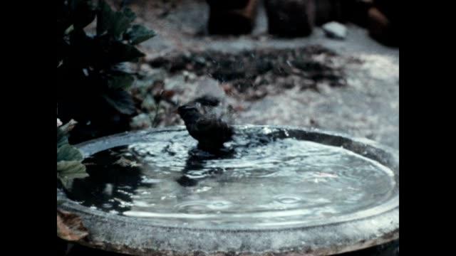sparrow takes a bath in a water fountain. - スズメ点の映像素材/bロール