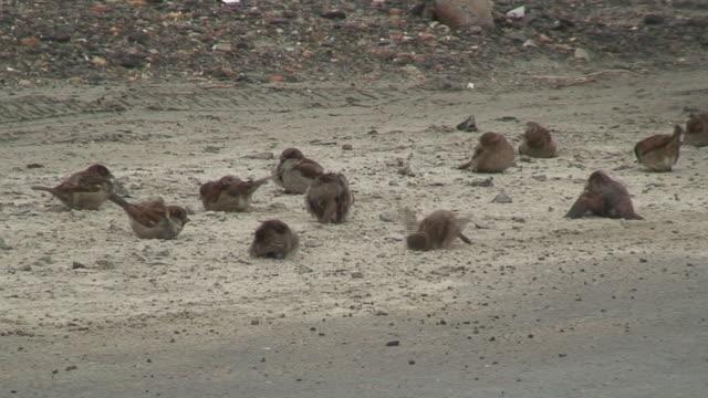 Sparrows bath