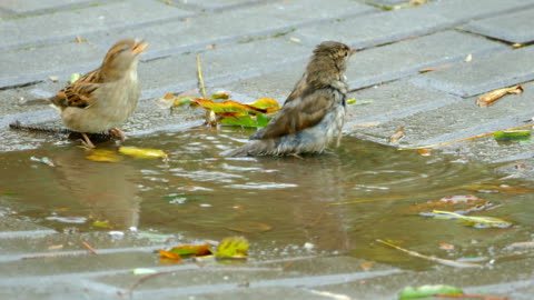スズメと飲み、道路の水たまりで浸る - スズメ点の映像素材/bロール