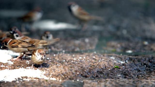 sparrows eat rice in the park - sparrow stock videos & royalty-free footage