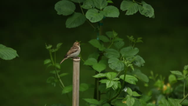 vidéos et rushes de sparrows fight for bamboo perch - bamboo plant