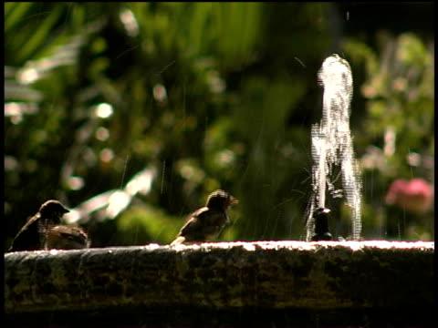 cu, sparrows in fountain, havana, cuba  - kleine gruppe von tieren stock-videos und b-roll-filmmaterial
