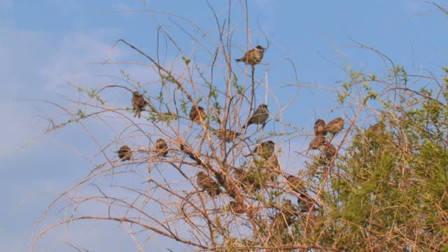 sparrows in the bush - birdsong stock videos & royalty-free footage