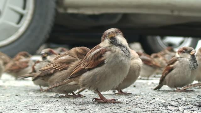 Sparrows macro