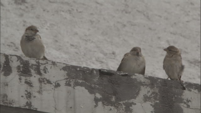 sparrows on ledge, badrinath, india available in hd. - sparrow stock videos & royalty-free footage