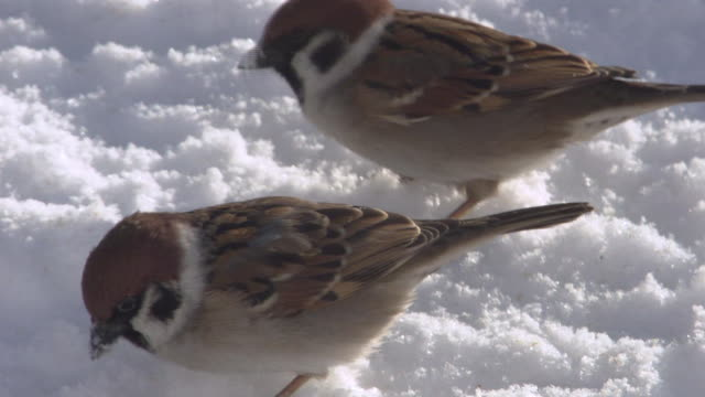sparrows pecking at breadcrumbs on the snow - sparrow stock videos & royalty-free footage
