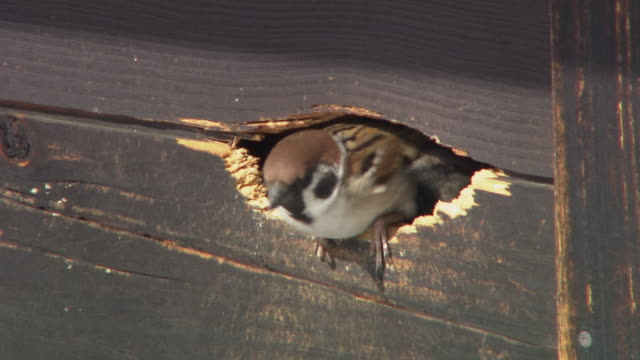 sparrows poking heads out of nest - nido di animale video stock e b–roll