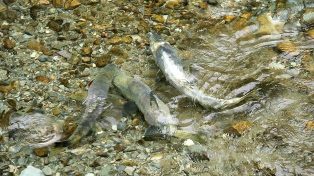 vídeos de stock e filmes b-roll de spawning chum salmon - salmão animal