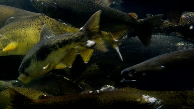 spawning coho salmon 1 - sea life stock videos & royalty-free footage