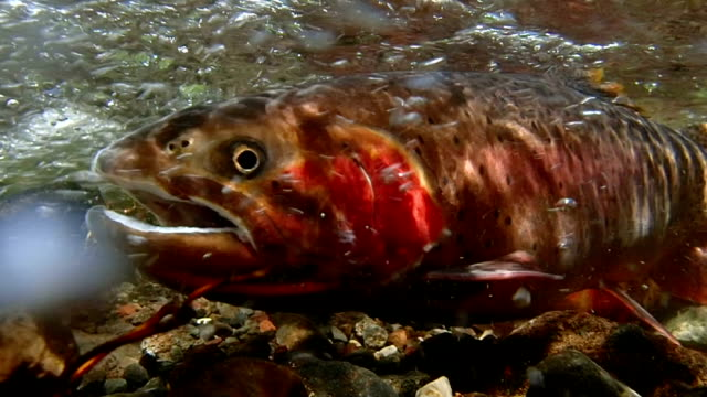spawning cutthroat trout - spawning stock videos and b-roll footage