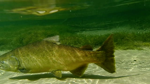 spawning salmon - trout stock videos and b-roll footage