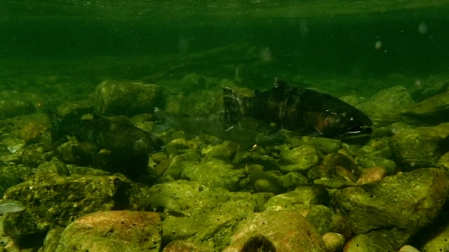 spawning salmon - spawning stock videos and b-roll footage