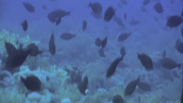 spawning surgeonfish (acanthuridae). these fish congregate in large shoals to spawn, releasing their eggs and sperm. - surgeonfish stock videos and b-roll footage