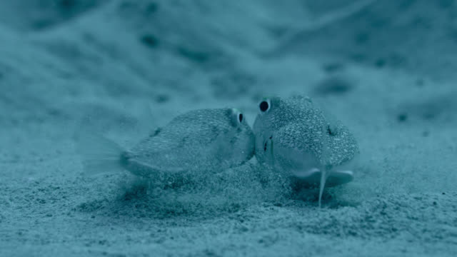 Spawning white spotted pufferfish, Japan