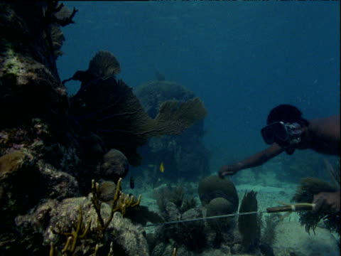 Spear fisherman wearing shorts and flippers swims around coral reef and then up to surface