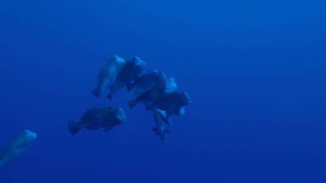 special behavior, humphead parrotfish mating - parrotfish stock videos & royalty-free footage