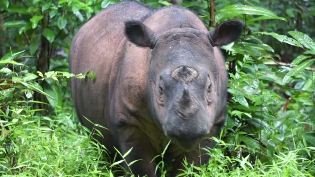 a special breeding programme at way kambas national park in the indonesian jungle is trying to save the sumatran rhino from disappearing forever - rhinoceros stock videos & royalty-free footage