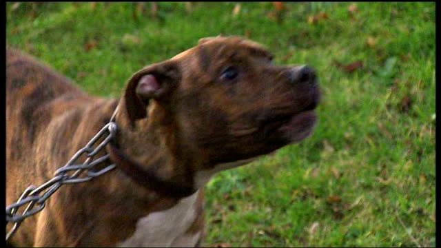 vídeos de stock, filmes e b-roll de dog fighting in london; slow motion staffordshire bull terrier on chain - terrier