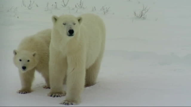 'the truth about polar bears'; ext mother polar bear with cub dr ian stirling interview sot cutaway polar bear standing on hind legs then going on... - stirling stock videos & royalty-free footage