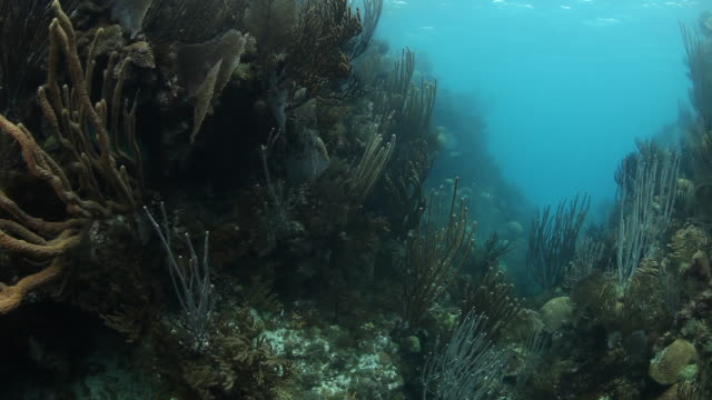 Species of coral in Bermuda, underwater POV