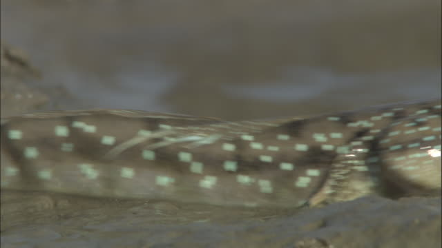 a speckled mudskipper drags itself through muddy waters. available in hd. - mudskipper stock videos and b-roll footage