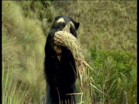 spectacled bear snaps off puya flower spike - power in nature点の映像素材/bロール
