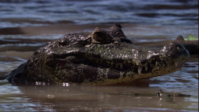 A spectacled caiman basks in a swamp. Available in HD.