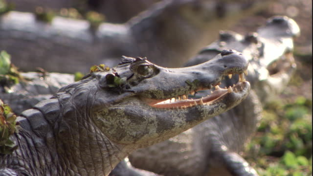 A spectacled caiman basks in the sun alongside many others. Available in HD.