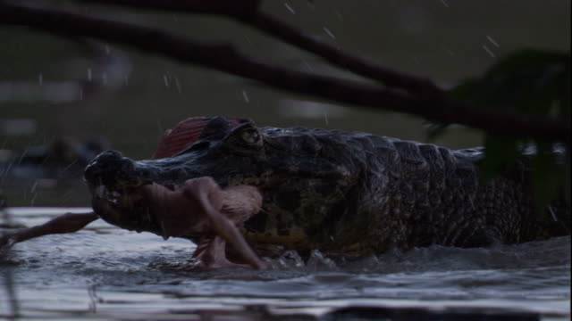 A spectacled caiman chews on a dead spoonbill chick. Available in HD.