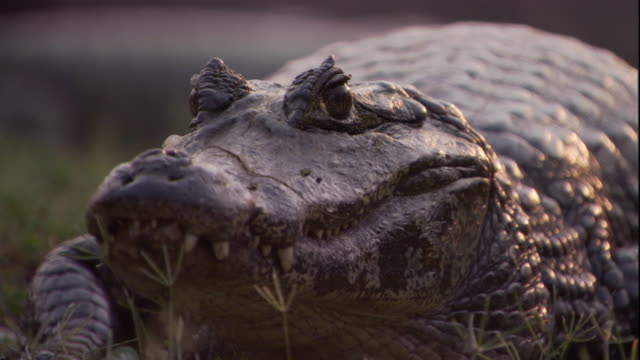 a spectacled caiman crawls away. available in hd. - caiman stock videos & royalty-free footage
