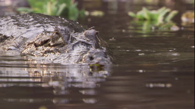 a spectacled caiman crawls into a swamp. available in hd. - caiman stock videos & royalty-free footage