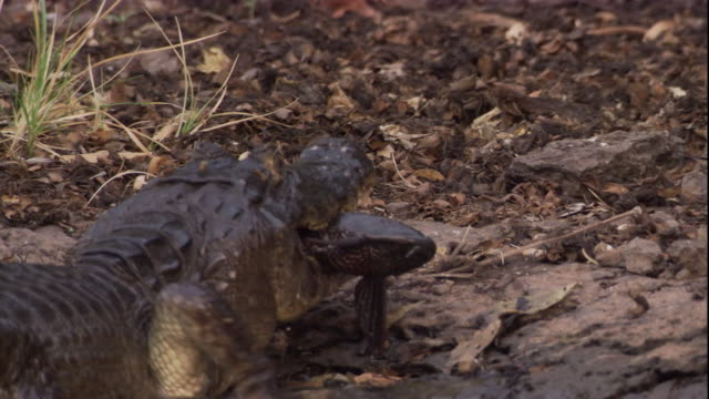 A spectacled caiman crawls out of a river to eat its prey. Available in HD.