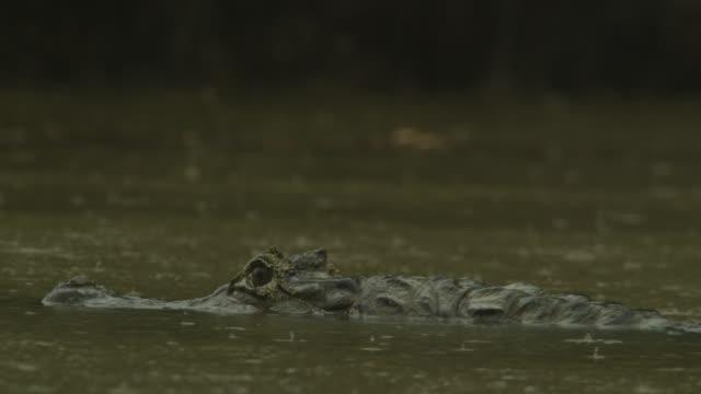spectacled caiman (caiman crocodilus) drifts down river as rain falls. - カイマン点の映像素材/bロール