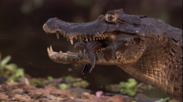 A spectacled caiman enters a river with a fish in its mouth. Available in HD.