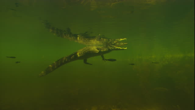 A spectacled caiman floats at the surface of a swamp. Available in HD.