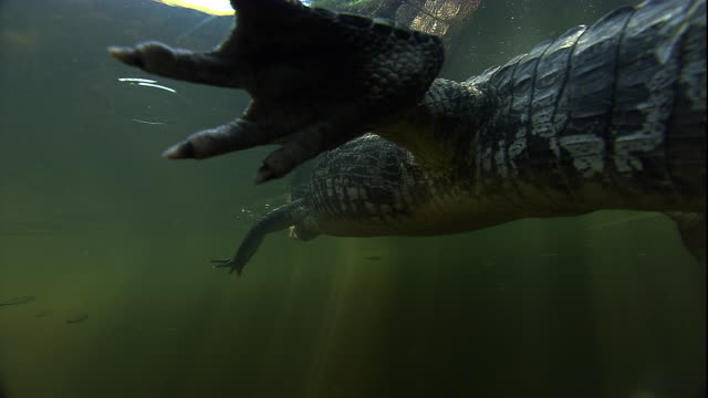 A spectacled caiman floats in the swampy Pantanal in Brazil. Available in HD.