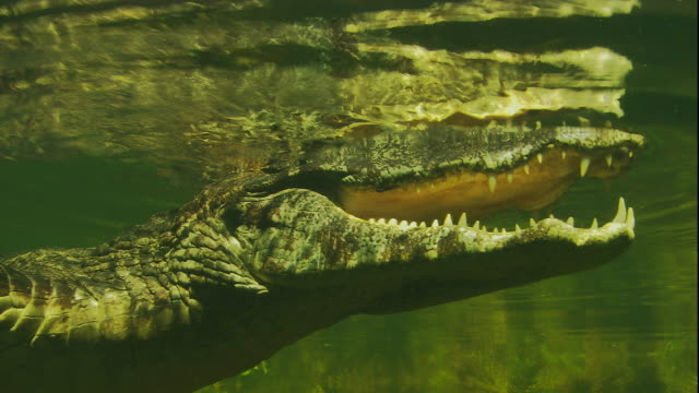 A spectacled caiman floats on the surface of a swamp and submerges its head. Available in HD.