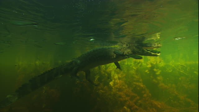 a spectacled caiman floats on the surface of a swamp. available in hd. - caiman stock videos & royalty-free footage