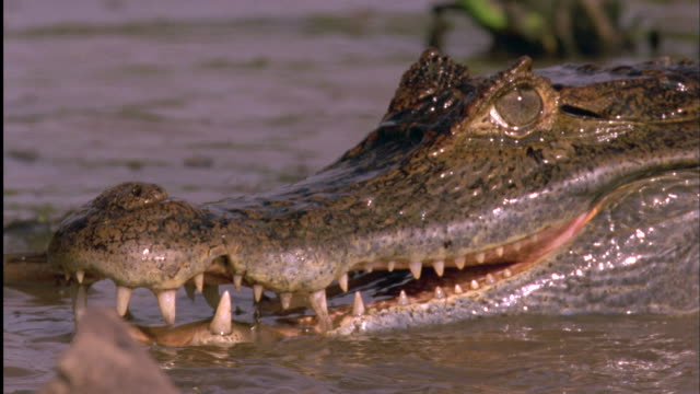 Spectacled Caiman head in water Available in HD.