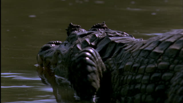 Spectacled Caiman lunges in water away from camera Available in HD.