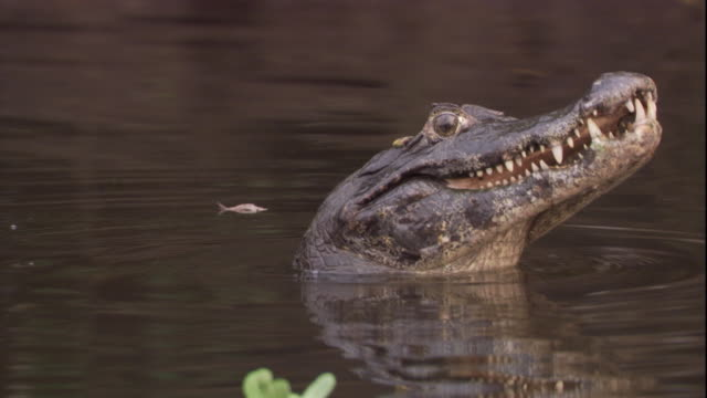 a spectacled caiman performs courtship behaviors in a swamp. available in hd. - caiman stock videos & royalty-free footage