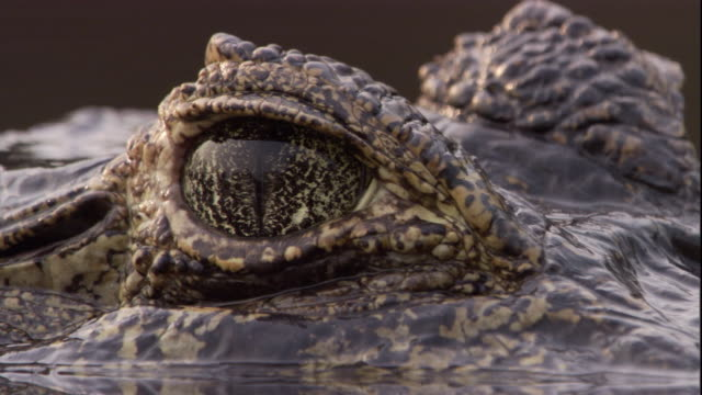 a spectacled caiman rests eye deep in a swamp. available in hd. - caiman stock videos & royalty-free footage