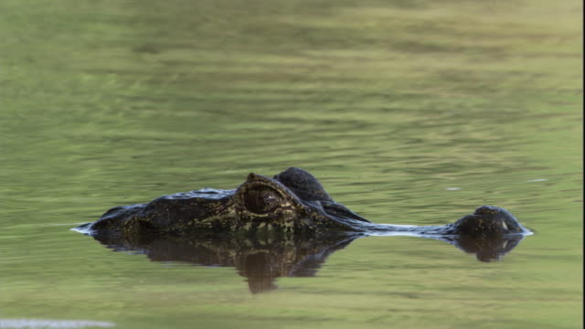 A spectacled caiman sits in rippling water. Available in HD.