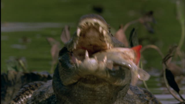 Spectacled Caiman struggles to swallow Red-Bellied Piranha Available in HD.